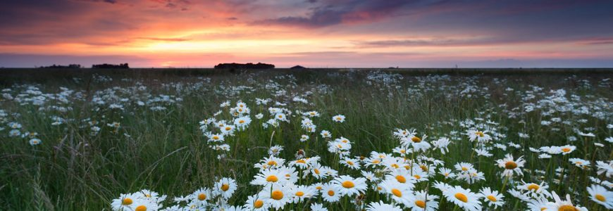 embrace nature's calm with chamomile