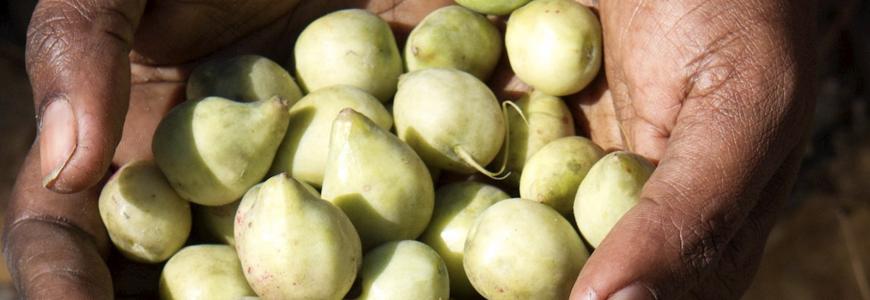 kakadu plums in Indigenous hands